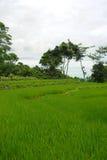 неочищенные рисы поля зеленые Стоковые Изображения RF