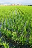 неочищенные рисы поля зеленые Стоковое Фото