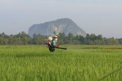 неочищенные рисы поля осматривают работника Стоковые Фото