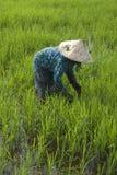 неочищенные рисы поля хуторянина Стоковое Фото