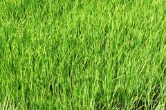 неочищенные рисы поля Стоковая Фотография RF