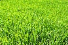 неочищенные рисы поля Стоковые Фотографии RF