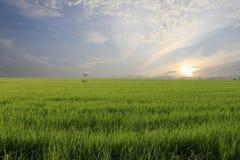 неочищенные рисы поля Стоковые Фото