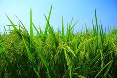 неочищенные рисы поля Стоковые Изображения