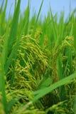 неочищенные рисы поля Стоковая Фотография