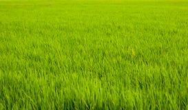 Неочищенные рисы - поле риса Стоковая Фотография