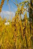 неочищенные рисы уха тайские Стоковые Изображения