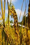 неочищенные рисы уха тайские Стоковое фото RF