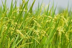 неочищенные рисы хлебоуборки стоковая фотография rf
