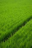 неочищенные рисы Стоковые Изображения RF