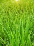 неочищенные рисы Стоковые Фото