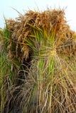 неочищенные рисы Стоковое фото RF