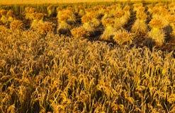 неочищенные рисы Стоковые Изображения