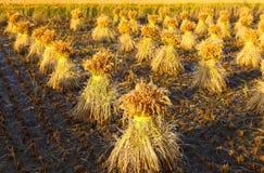 неочищенные рисы Стоковое Изображение