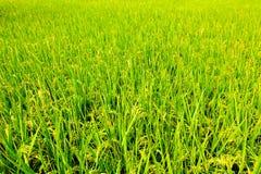 Неочищенные рисы стоковая фотография