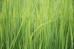 Неочищенные рисы стоковое изображение rf