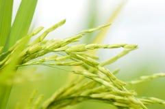 неочищенные рисы стоковые фотографии rf