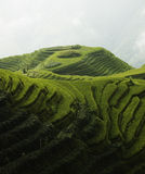 неочищенный рис фарфора Стоковое Изображение