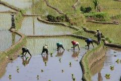 неочищенный рис Стоковая Фотография