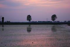 неочищенный рис Стоковое фото RF