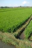 неочищенный рис Стоковое Изображение RF
