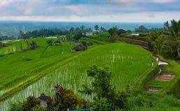 неочищенный рис terraced Стоковые Изображения