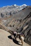 Непальские лошади горы в горах на следе стоковые фото