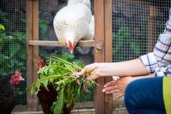 Непознаваемая женщина подавая ей свободные цыплята ряда Курицы яичка кладя и молодой женский фермер еда здоровое органического стоковая фотография