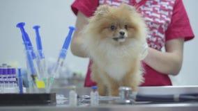 Непознаваемая медсестра в красочной медицинской мантии лаская petting шпиц небольшой пушистой собаки pomeranian Шприцы и медицина акции видеоматериалы