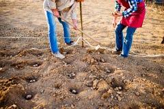 Непознаваемые старшие пары засаживая картошки в ряд в gro Стоковые Изображения