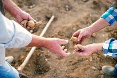 Непознаваемые старшие руки пар, засаживая картошки в g Стоковое фото RF