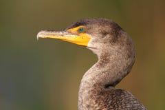 неполовозрелое crested cormorant двойное Стоковые Изображения RF