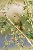 Неполовозрелое greenfinch/chloris Carduelis Стоковые Изображения RF