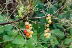 Неполовозрелые ягоды красных смородин Стоковая Фотография