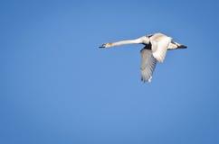 неполовозрелый безгласный лебедь Стоковая Фотография