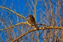Неполовозрелый фликер в зиме стоковые фотографии rf