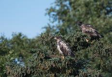 2 неполовозрелых белоголового орлана в дереве Стоковое Изображение