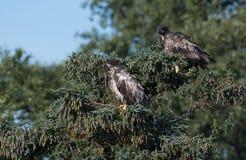 2 неполовозрелых белоголового орлана в дереве Стоковое фото RF