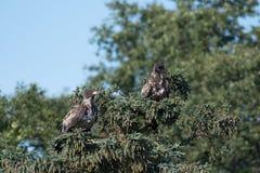 2 неполовозрелых белоголового орлана в дереве Стоковые Изображения RF
