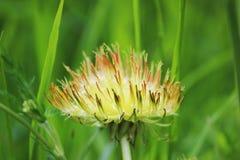Неполноценное цветок officinale одного Taraxacum одуванчика желтый с атрофи лепестками растет на слишком удобренной почве стоковое фото