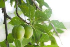 Неполовозрелая зеленая слива на дереве Стоковая Фотография RF