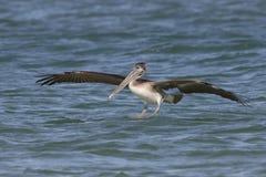 Неполовозрелая посадка пеликана Брайна в океане - Флориде Стоковые Изображения RF
