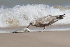 Неполовозрелая чайка сельдей подавая на помытое вверх по карпу Стоковая Фотография RF