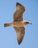Неполовозрелое летание чайки Калифорнии стоковые фото