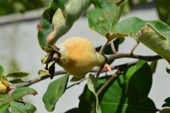 Неполовозрелые изображения айвы, неполовозрелые сырцовые изображения плодоовощ айвы на дереве айвы Стоковая Фотография RF