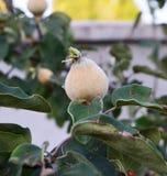 Неполовозрелые изображения айвы, неполовозрелые сырцовые изображения плодоовощ айвы на дереве айвы Стоковое Изображение RF