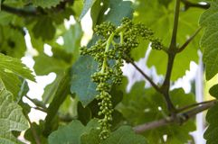 Неполовозрелые крошечные виноградины, лист виноградины, лист виноградины и изображения плодоовощ виноградины Стоковая Фотография RF