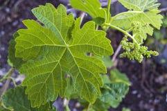 Неполовозрелые крошечные виноградины, лист виноградины, лист виноградины и изображения плодоовощ виноградины Стоковое Фото