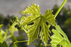 Неполовозрелые крошечные виноградины, лист виноградины, лист виноградины и изображения плодоовощ виноградины Стоковые Изображения