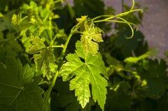 Неполовозрелые крошечные виноградины, лист виноградины, лист виноградины и изображения плодоовощ виноградины Стоковые Фото